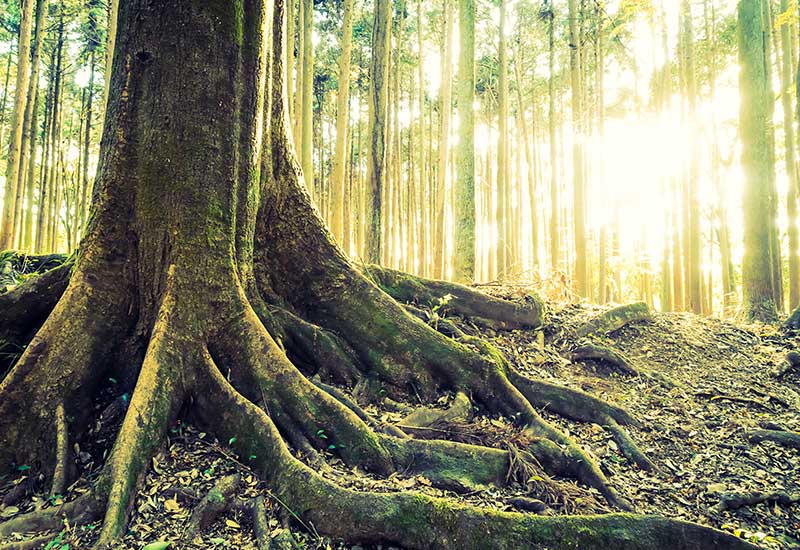Sylvothérapie à la découverte du bain de forêt et des arbres remarquables